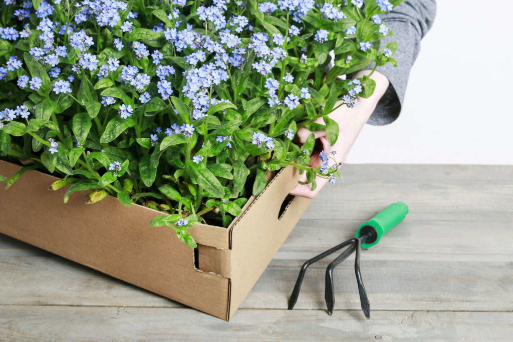 Vergissmeinnicht-Pflanzen im Karton mit Harke