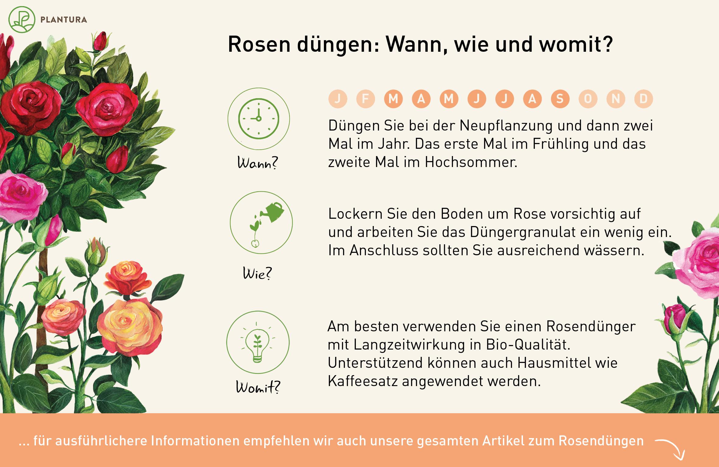Rosen Dungen Profi Tipps Zum Richtigen Zeitpunkt Vorgehen Plantura