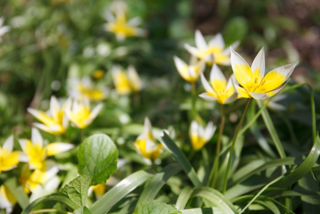 Weinberg-Tulpe mit gelben Blüten