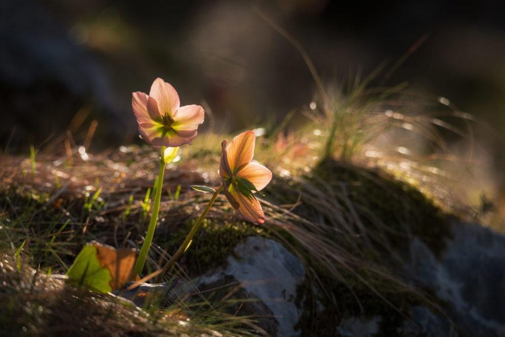 Christrose wächst im Wald