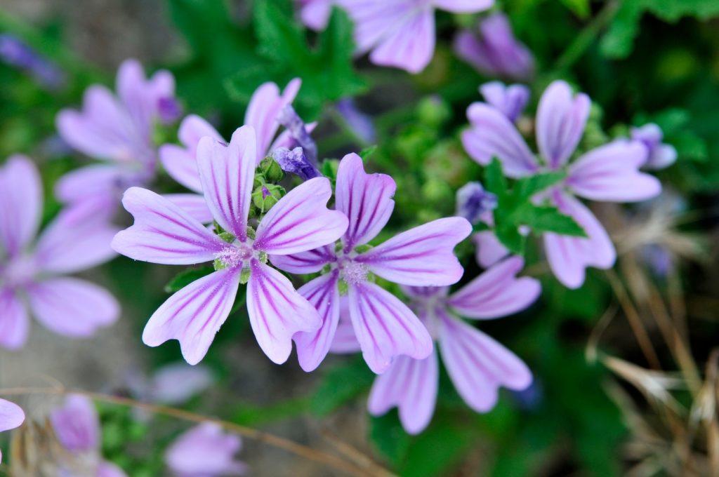 Wilde Marve mit lila Blüten im Garten