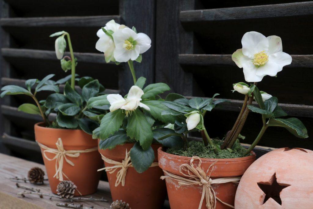 Zwei Christrosen in Töpfen im Garten
