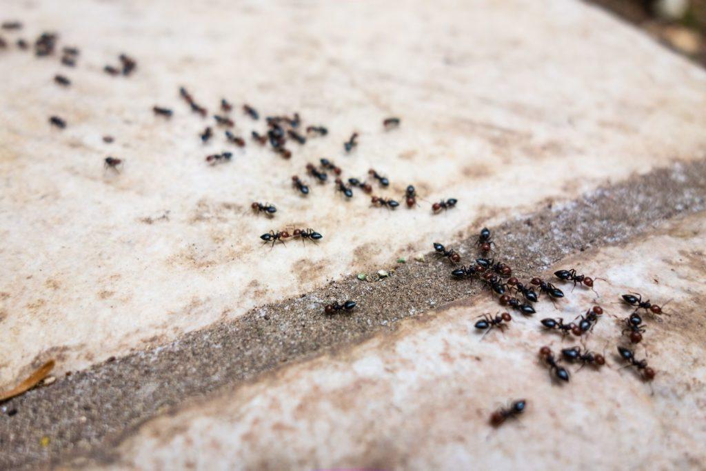 Ameisen-Straße im Haus