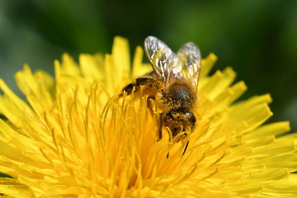 Biene auf Blüte eines Löwenzahns