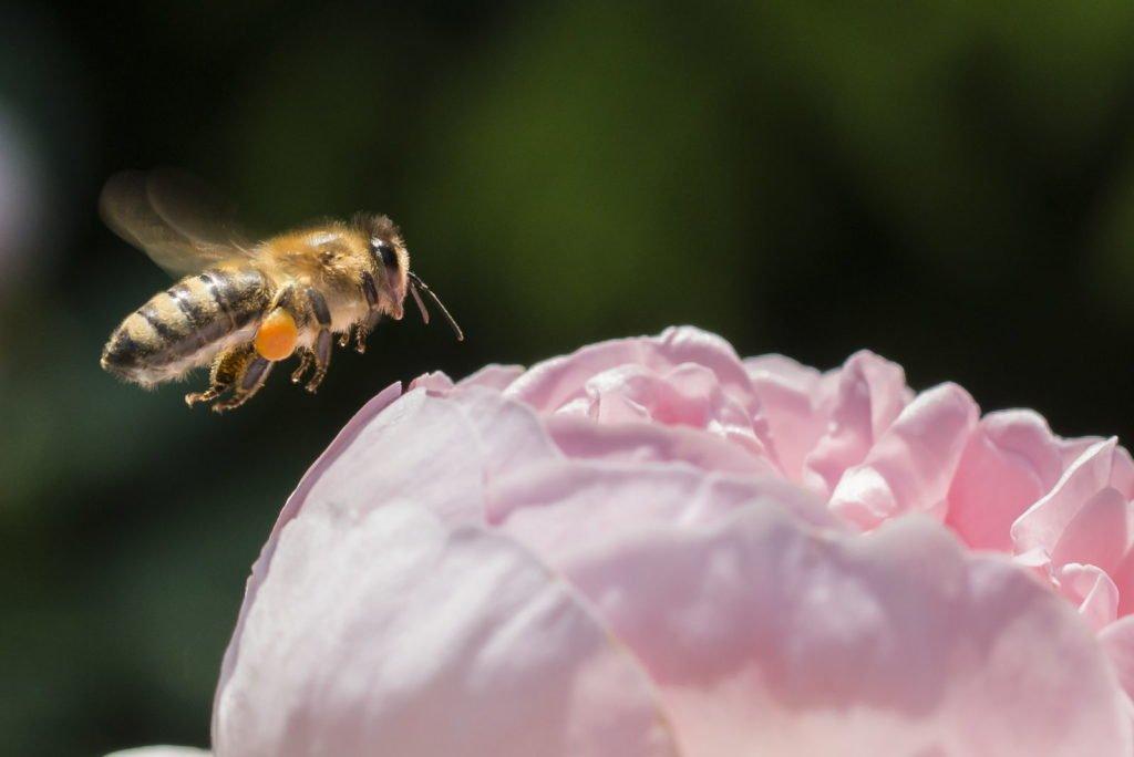 Biene schwebt über gefüllter Blüte