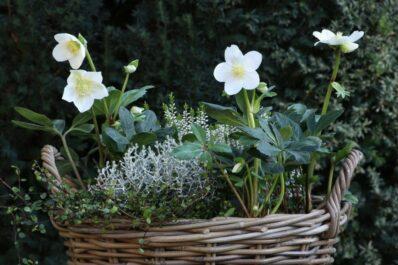 Christrosen im Topf: Alles zum richtigen Pflanzen & Pflegen im Kübel