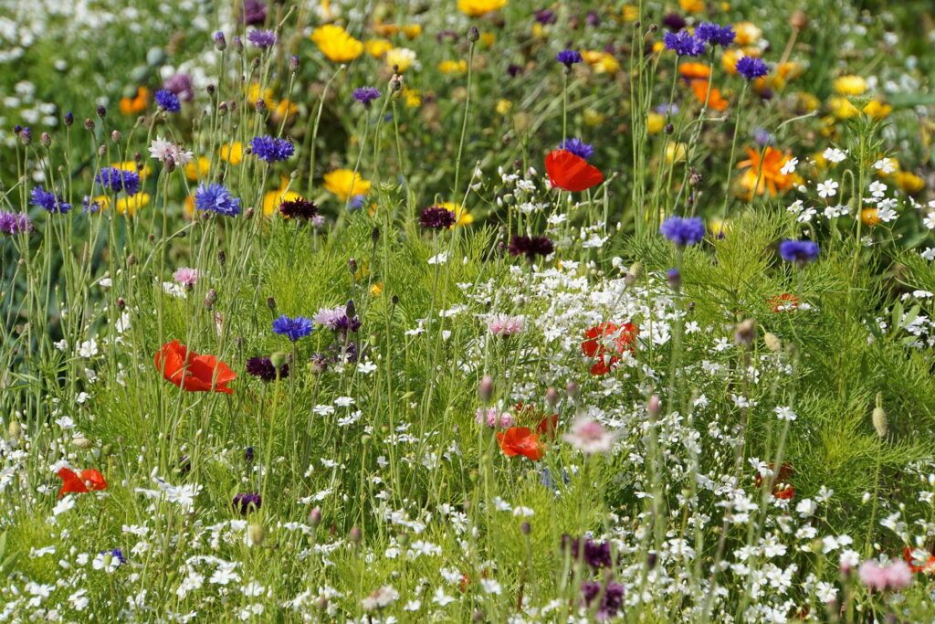 bunte Wildblumenwiese mit verschiedenen Pflanzen