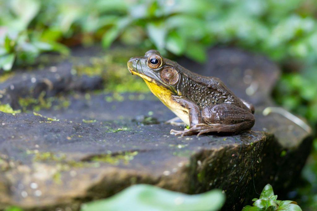 Frosch an Teich in Naturgarten