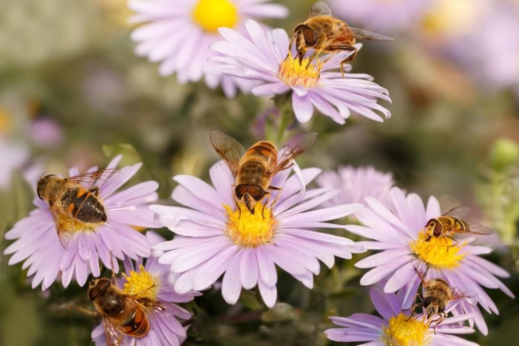 Bienen auf Blüten der Glattblattaster