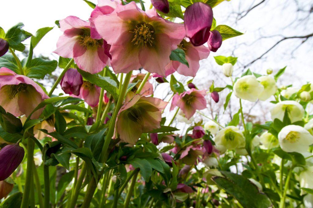 Lenzrose mit rosa Blüten