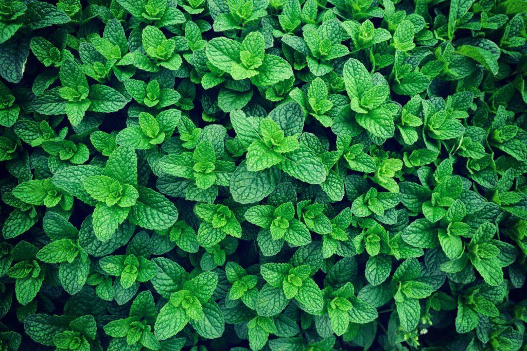 Minze-Pflanzen