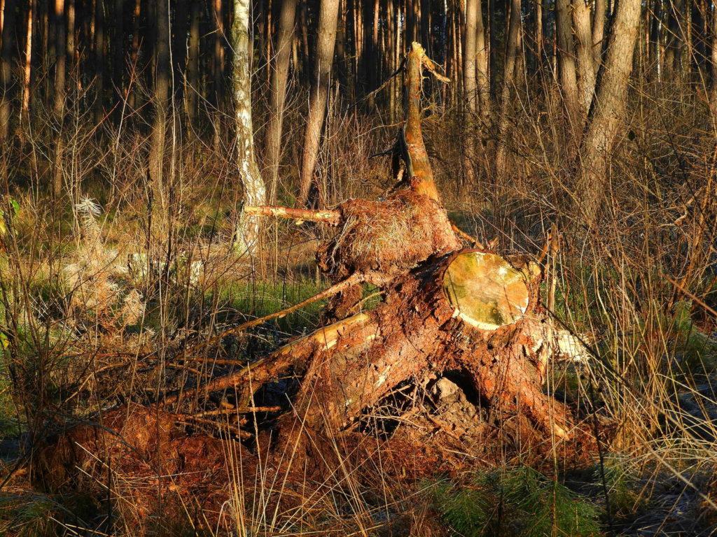 Baumstumpf als Totholz im Wald