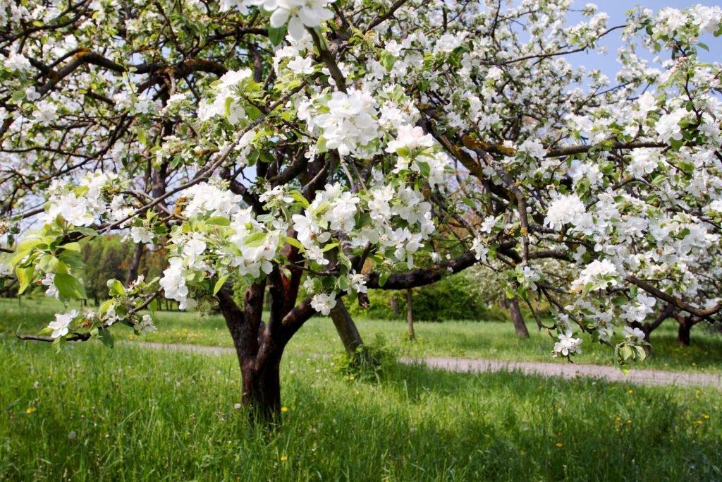 Obstbäume mit weißen Blüten auf einer Wiese