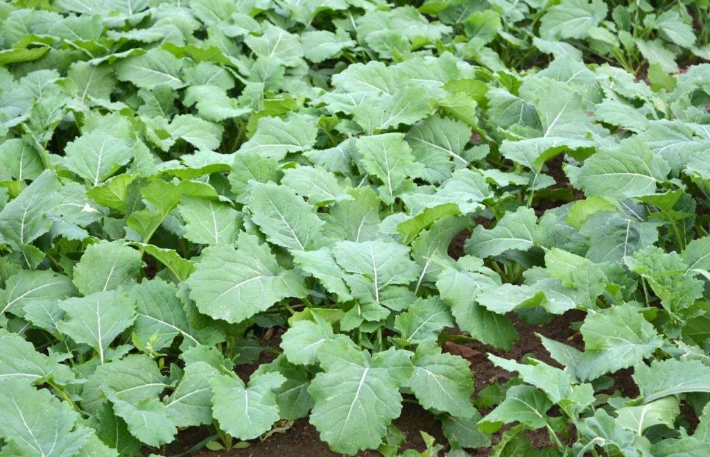 Rapspflanzen bedecken den Boden