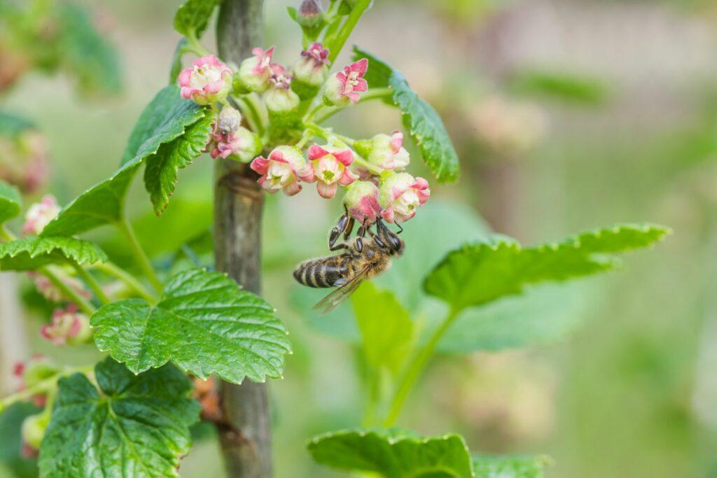 Biene an Stachelbeere