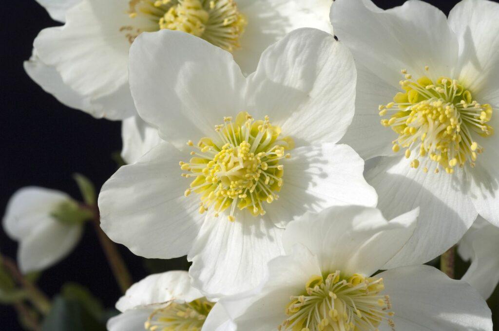 Christrose mit vielen weißen Blüten im Garten