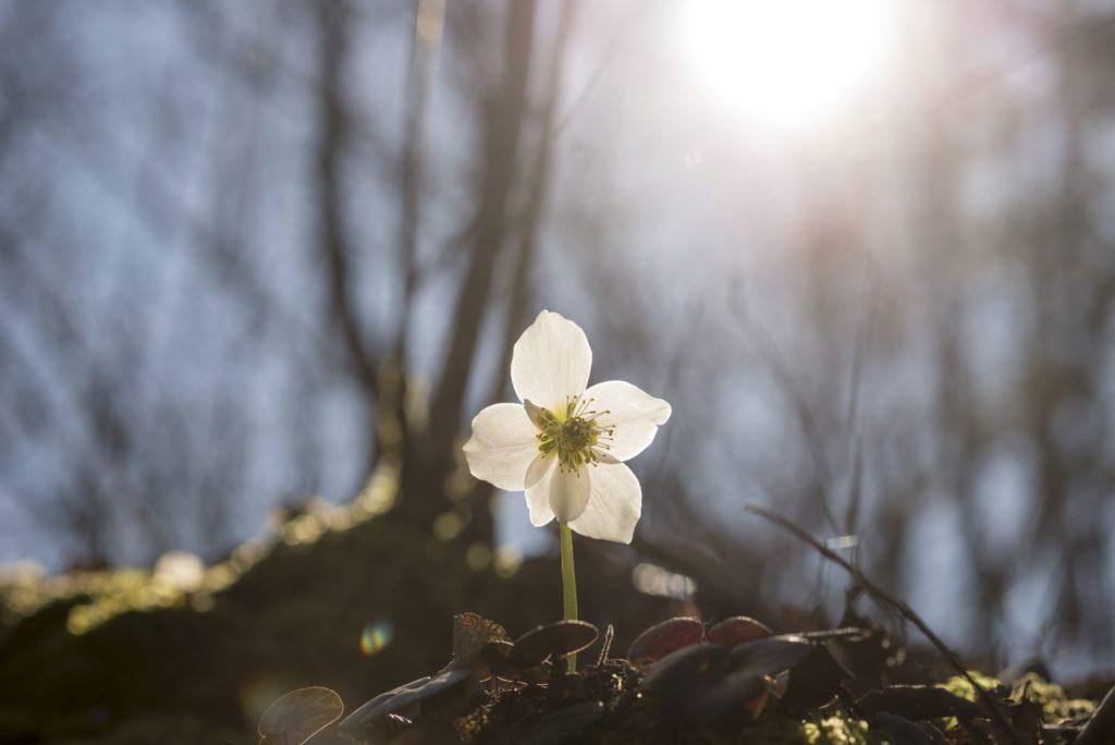 weiße Christrose mit Mulchschicht im Garten