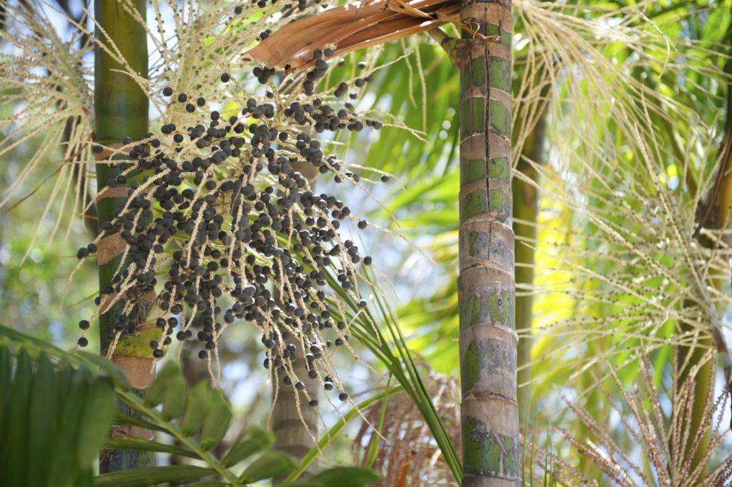 Açai-Früche an Fruchtständen unter freiem Himmel