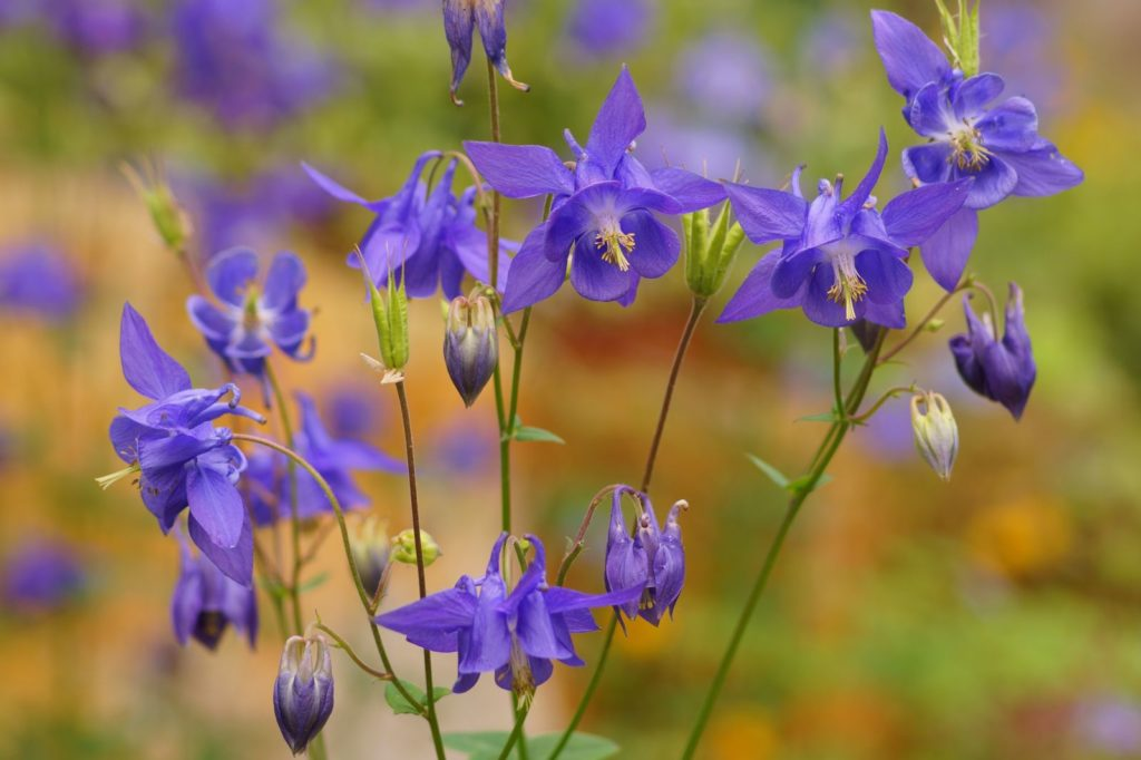 Aquilegia vulgaris 'Wildform'