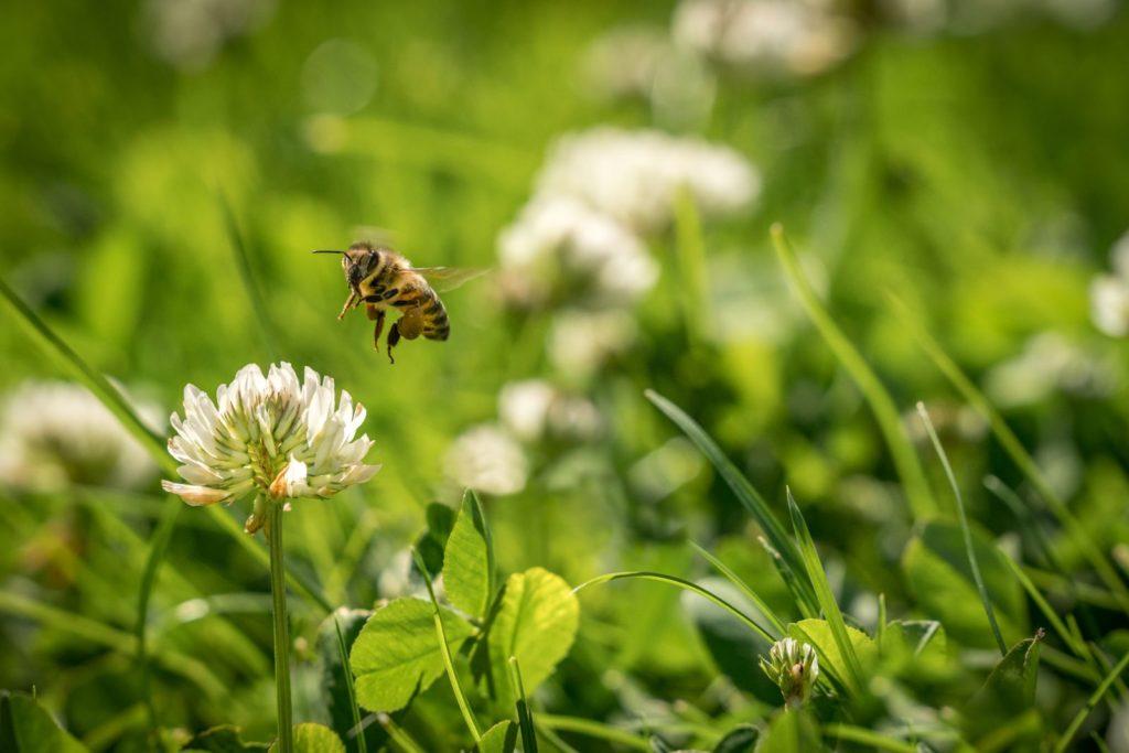 Biene fliegt zu Klee