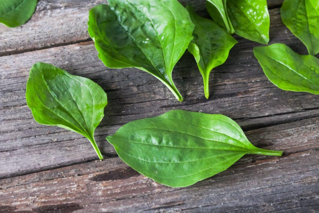 Breitgwegerich Blätter auf Holz