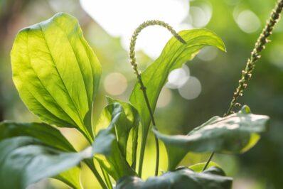 Breitwegerich: Die Heilpflanze vom Wegesrand