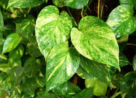 Efeutute Grün-weiß