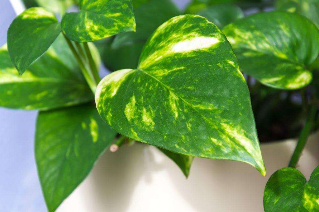 Efeutute grün-weiße Blätter weißer Topf