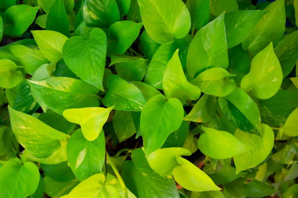 Efeutute grüne Blätter leicht gelbe Blätter