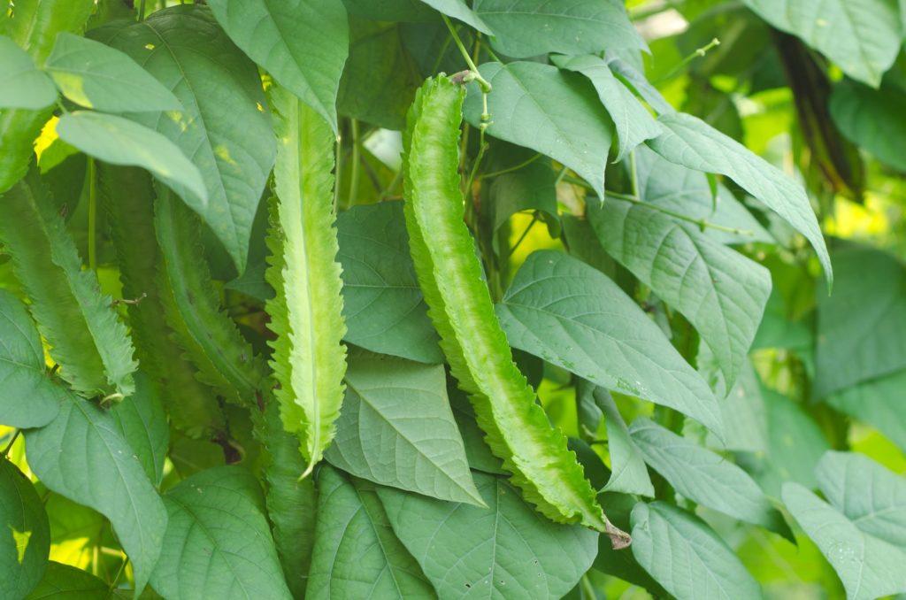 Grüne Flüglebohnen an Strauch
