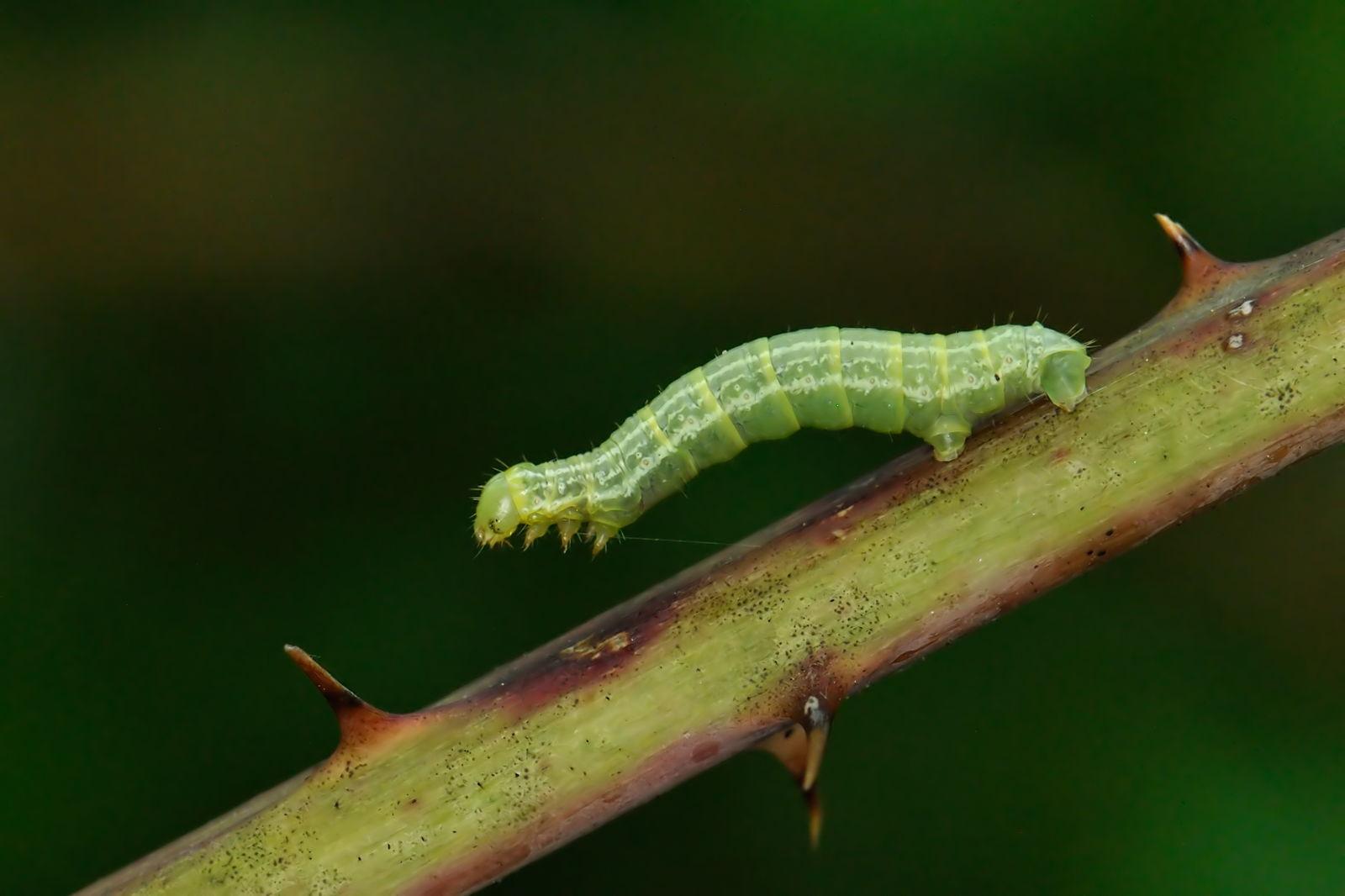 Frostspanner Alles Zum Erkennen Vorbeugen Bekampfen Plantura