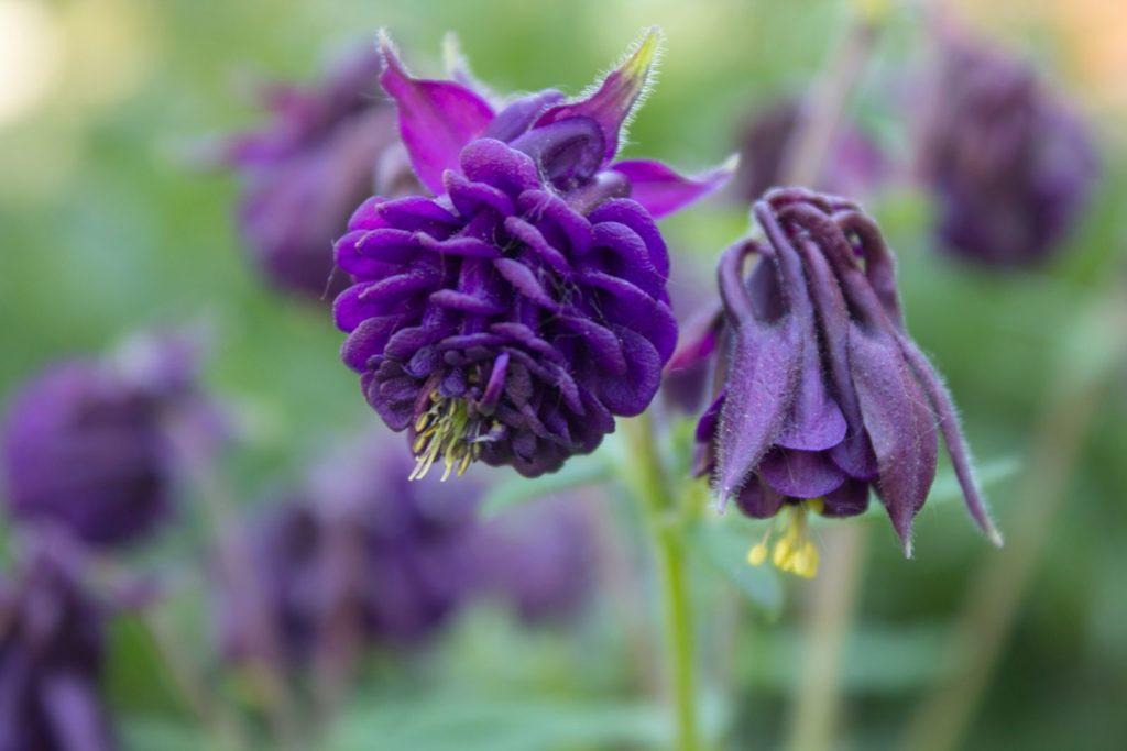 Gefüllte Akelei nah violett