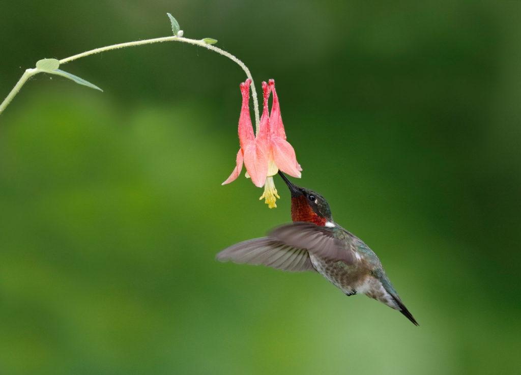 Kolibri Akelei