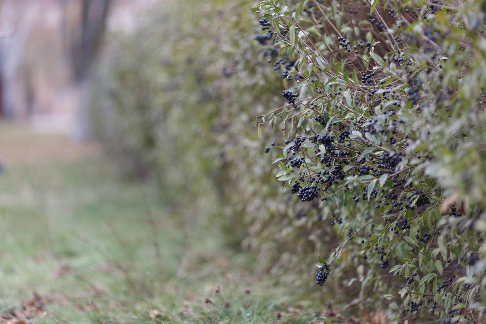 Beeren von Ligusterhecke