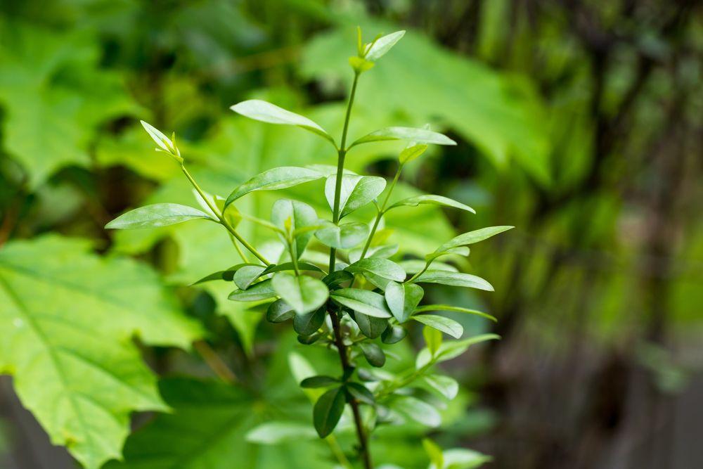 kleine Ligusterpflanze im Garten
