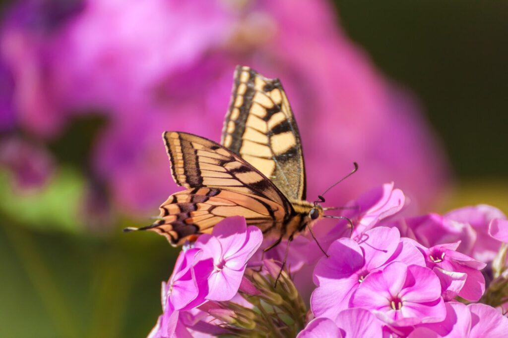 Phlox Schmetterling nah