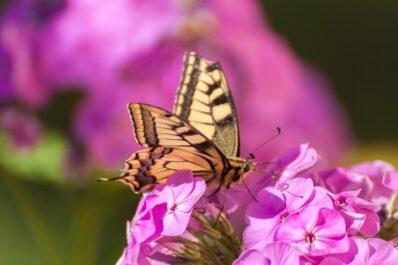 Phlox: Experten-Tipps zum Pflanzen, Pflegen & Vermehren