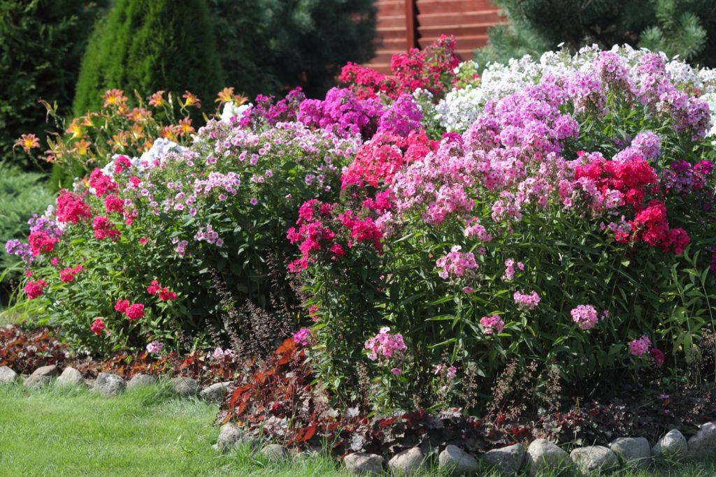 Phlox paniculata Garten