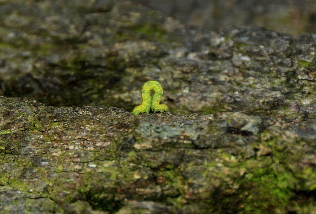 Spanner-Raupe in Fortbewegung auf Baumrinde