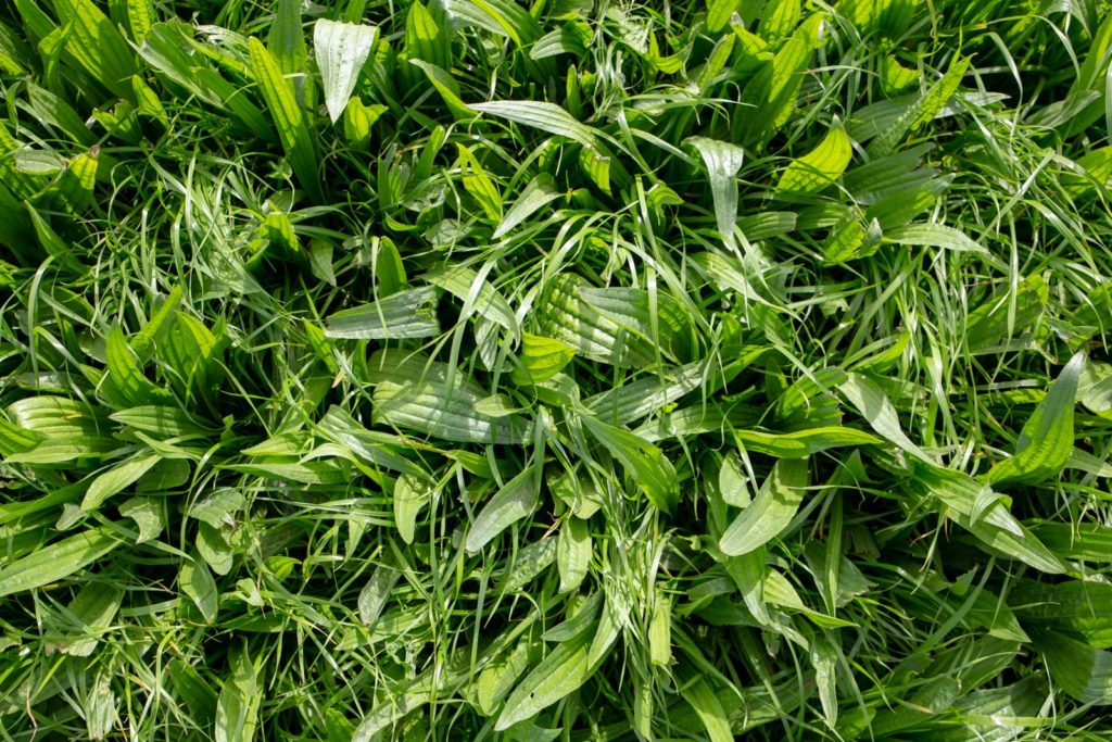 Spitzwegerich Blätter Wiese