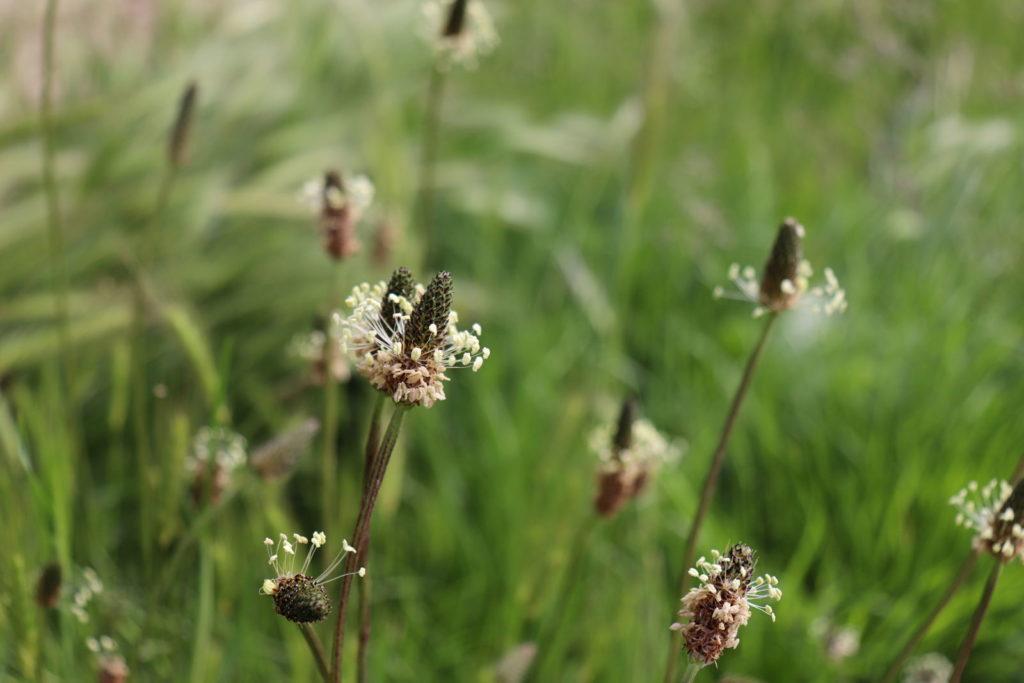 Spitzwegerich Blüten Wiese nah