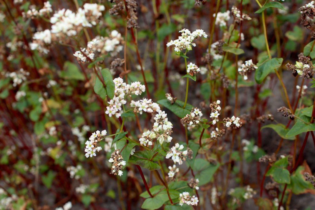 Buchweizenpflanze