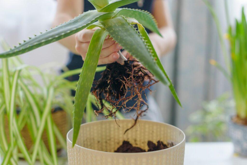 Aloe vera wird in Topf gepflanzt