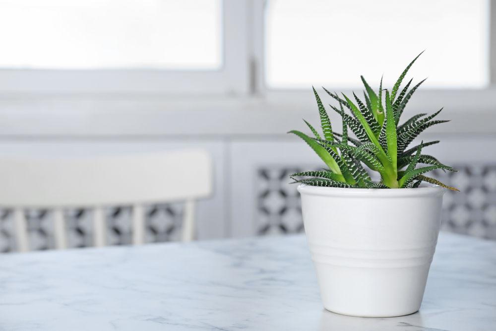 Aloe Vera im Topf am Fenster