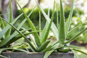 Aloe Vera Im Topf Im Garten