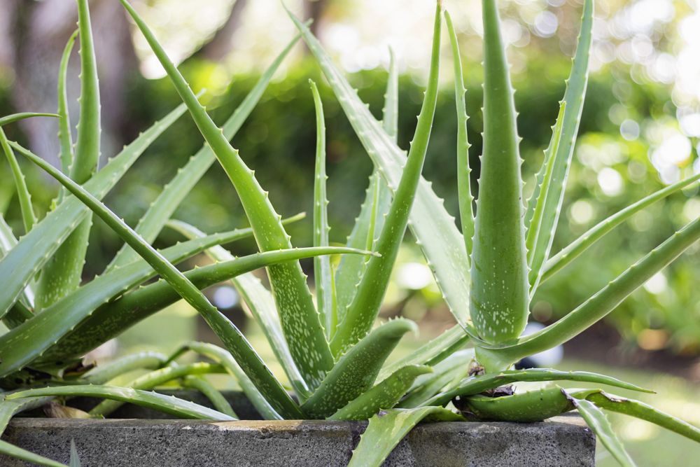 aloe vera pflanze pflege