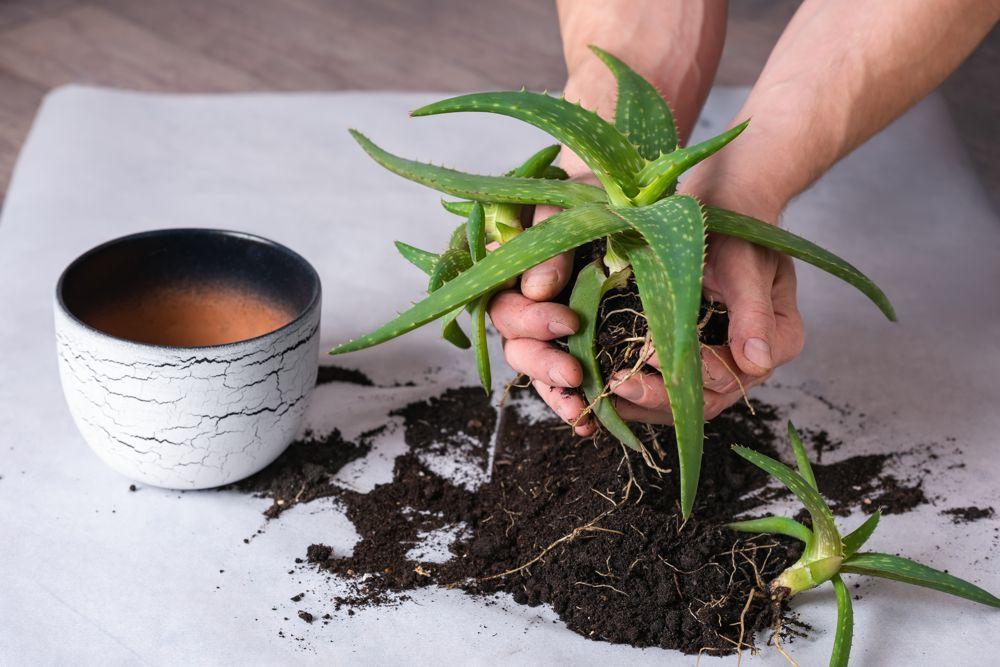 Aloe Vera mit Ableger vermehrt