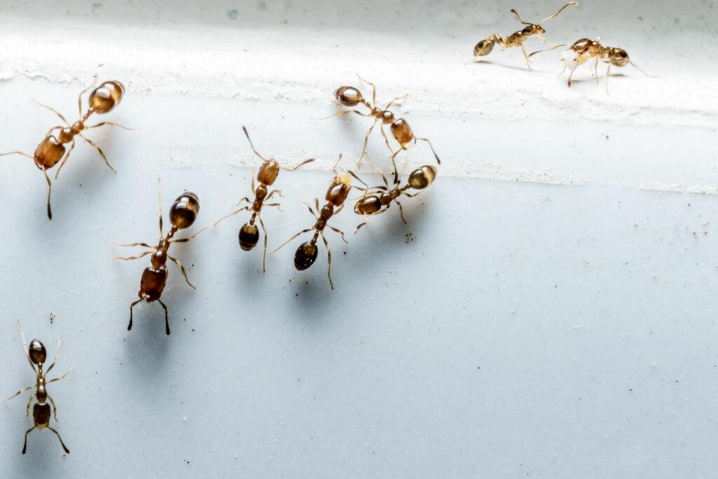 Ameisen krabbeln auf weisser Wand