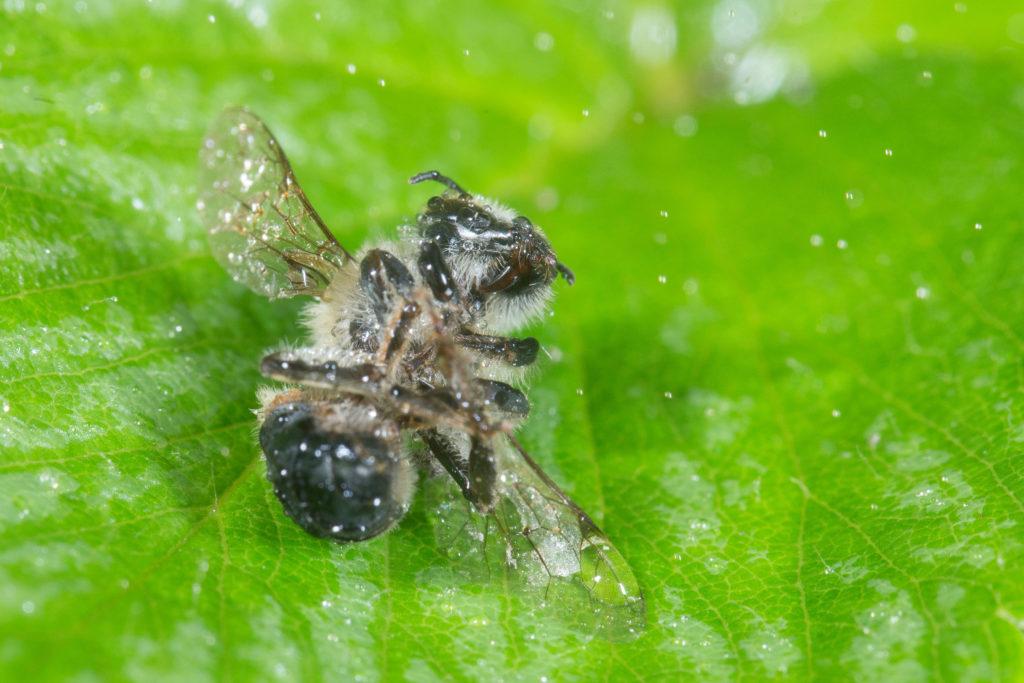 Biene liegt reglos auf einem Blatt