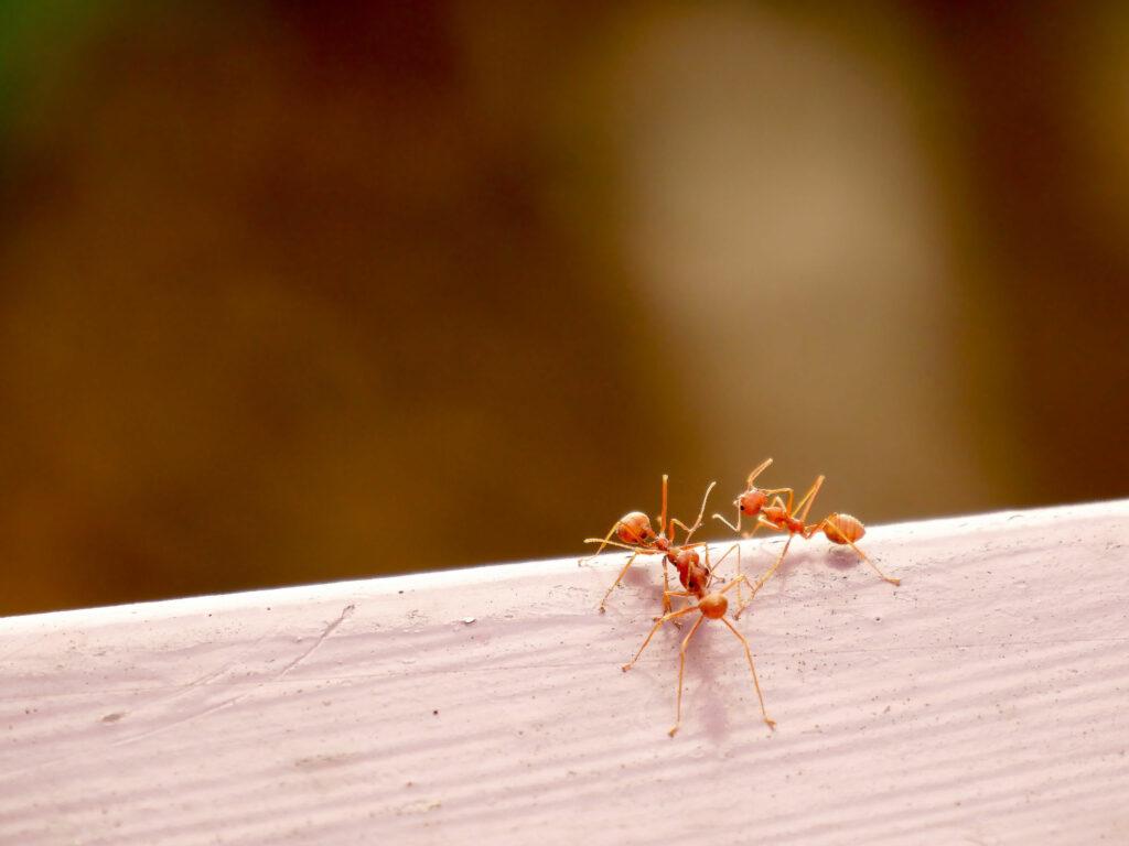 Rote Ameisen krabbeln auf Holz